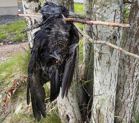 HENGT: Denne fuglen ble funnet spiddet og hengt opp i et tre i forrige uke. Det har vekket reaksjoner.