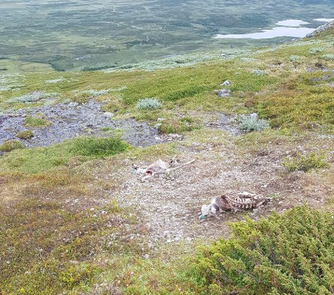 DREPT AV LYNET: Åtte sauer ble funnet på Gilafjellet den 16. juli. Alle dyra lå innenfor 20-30 kvadratmeter.
