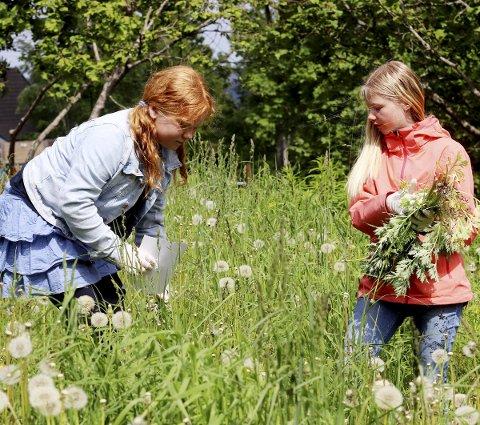 Forebyggende: Mathilde Thorsen Sundstrøm og Luna Tyrihjell plukker burot ved Kleiverud skole. Foto: Pål Nordby