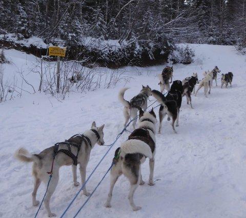 KJØRING: Hundekjørermiljøet i Rana er ikke stort, men de har fine treningsforhold. Foto: Bjørn Kristiansen