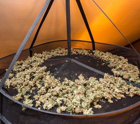 Til tørk: Ferdig tørket marihuana, klar for salg ble funnet i vesentlige mengder inne i huset.