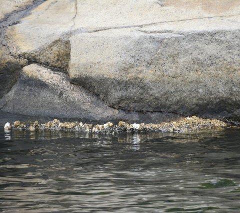 Stillehavsøsters: Fjell og svaberg har fått et hvitt belte av Stillehavsøsters langt inn i Eidangerfjorden.