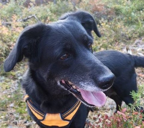 SAVNET: Blandinshunden Laika forsvant i romjula. Fremdeles er det håp for at den er i live. foto: privat