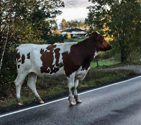 PÅ TUR: Denne kua tok seg en tur på egenhånd.