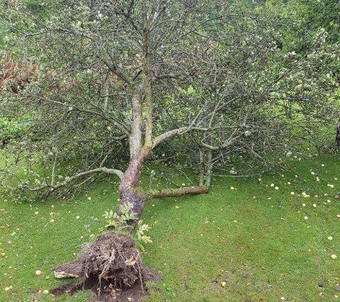 I BAKKEN: Dette epletreet i Fløyveien ga etter for naturkreftene fredag ettermiddag.