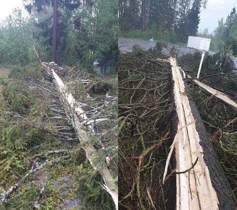 KLØVD I TO: Her er resten av det om lag 15 meter høye grantreet etter dagens runde med lyn og torden. FOTO: PAAL BERG