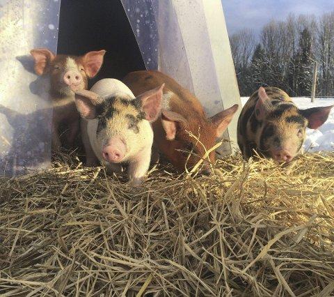 MER AV DETTE: Vi trenger flere produsenter av typen Grøstadgris og mindre industrialisert svinehold, mener Tønsberg SV.