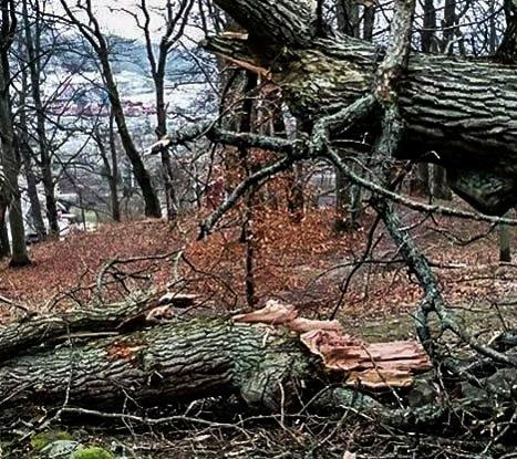 I BAKKEN: Dette gamle eketreet dundret i bakken.