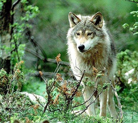 ULVELAND: Ulven trives godt på Romerike og inntil 28 ulver kan tasse rundt i våre skoger. Bildet er tatt på Langedrag.