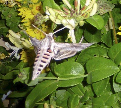 Ukjent: Dette insektet har vært fast gjest i hagen til familien Johansen på Sund de siste ukene. Nå håper familien at noen kan fortelle mer om gjesten. Alle foto: Privat