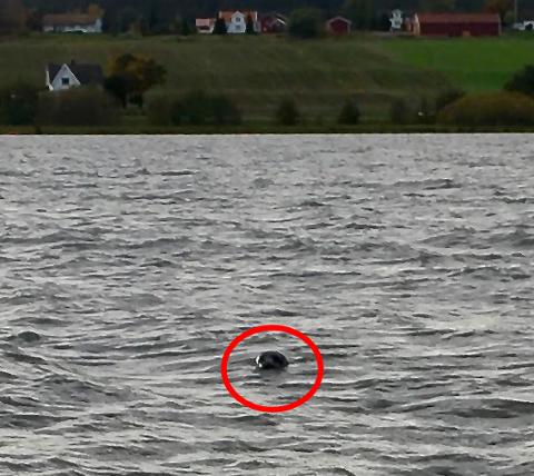 Sel i Visterflo er et sjeldent syn, så Jarle Nordli og barnebarnet Sivert Nordli ble overrasket da denne krabaten stakk hodet opp av vannet.