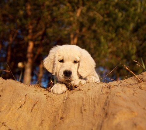 Over 100 labradorer har blitt fulgt fra valp til voksen og sørget for det som kan være et gjennombrudd i å forstå en hunds aldring.
