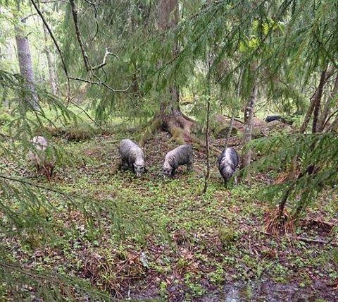 SAUER PÅ TUR: Et medlem av Rovviltets røst som har hytte i Østmarka, tok dette bildet Kristi Himmelfart.