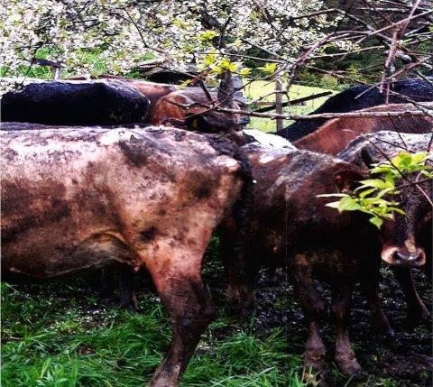 TRANGT OG MØKKETE: Kyr som ble funnet på gården til en bonde i Valdres hadde dårlige kår.