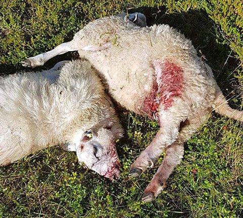 DØDE: Det ene lammet ble drept av hunden, og det andre var så skadet i ansiktet at det også måtte avlives.