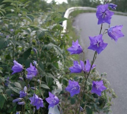 Fagerklokke pryder veikanten ved Agnaltveien.