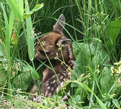 Hvert år blir tusenvis av rådyrkalver drept eller lemlestet av slåmaskiner under høsting av gress ved førsteslåtten.