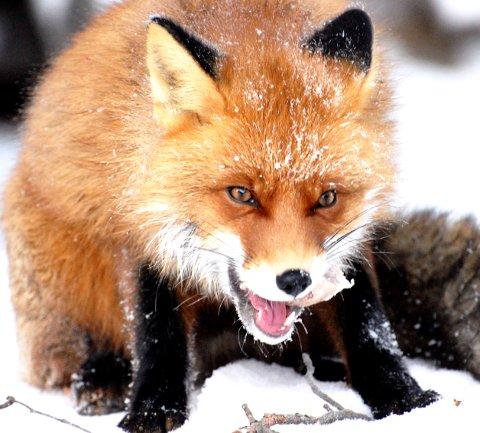 TILLITSFULL OG LUNEFULL: I hele vinter har reven oppholdt seg nær husene på Lesjaverk.