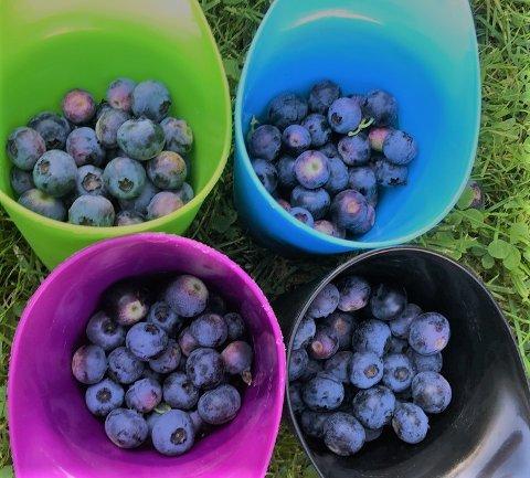 BÆR OG FRUKT: Nå inviteres det til inspirasjonskveld i Aremark. Målet er å få flere til å satse på nye produksjoner, som blant annet frukt, grønt og bær. Dette er hageblåbær som vokser villig i vårt distrikt.