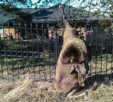 PINTES: I løpet av natt til torsdag ble denne unge elgkua spiddet og drept på et spydgjerde i Alta.
