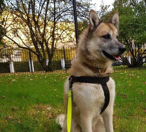 Dette er Aslan, som hundeeieren forteller at stakk av på Løken lørdag – og ble forvekslet med en ulv.