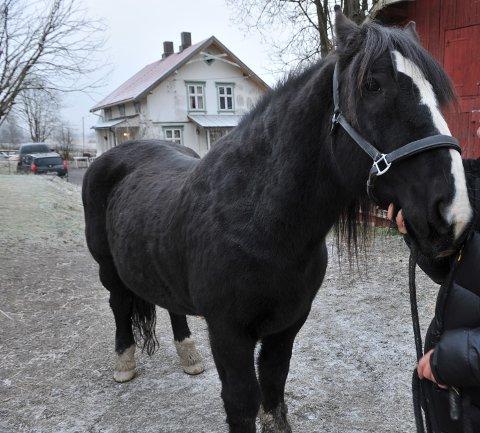 HELT SJEF: Denne staselige vallaken er en av mange hester ved navn Odin.