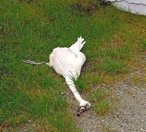 Denne døde svanen har ligget i en hage i Ole Nielsens vei siden søndag