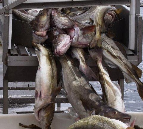 TRUER: Fylkesmannen i Nordland truer med å ilegge en fiskekjøper i Lofoten tvangsmulkt.