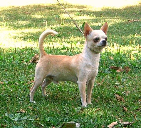 PÅ TOPP: Chihuahuaen er den mest populære hunderasen i Tromsø - hvis man tar med både korthåret og langhåret variant.