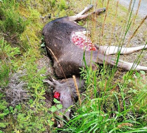 ANGREPET AV BJØRN: Torsdag i forrige uke ble denne elgen funnet langs en vei mellom Nes og Aurskog-Høland.