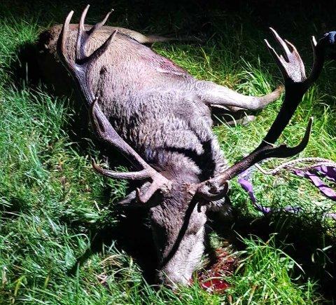 ENORM: Dette er den største hjorten som er skutt i Forsand, i alle fall i nyere tid. Det er trolig en gull-bukk. (Foto: privat)