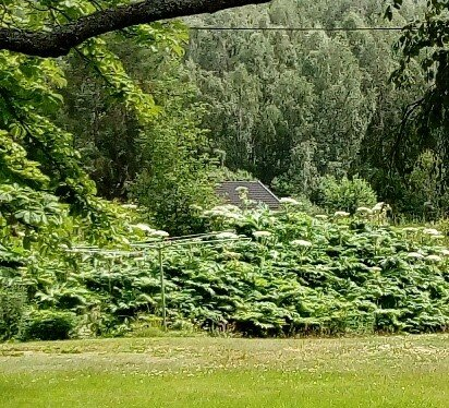 GIFTIG: Store mengder av Tromsøpalme er observert i Halmrast i Søndre Land.