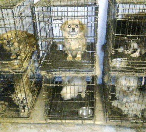 60 hunder i ett hus: Det ble avdekket at en Ringsaker-kvinne har 60 miniatyrhunder i en privatbolig. Mange av hundene ble holdt i små bur opp til 18 timer i døgnet. Saken endte med at Mattilsynet ga kvinnen pålegg om å lov til å ha maks 20 hunder.