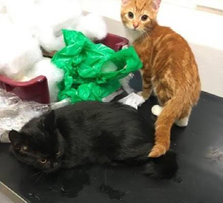 ETTERLYSER EIER: Politiet ønsker kontakt med eieren til disse kattene. De ble funnet i et bur i en veikant ved Tistedal skole.