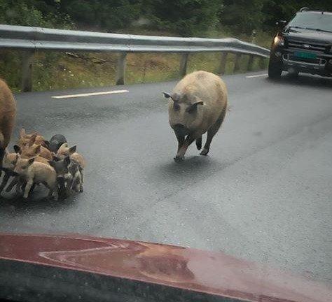 UTE PÅ VANDRING: Det var ved Kroksundbroen, nord i Marker kommune, at denne ullgrisfamilien var ute på vandring. De hadde brutt seg ut fra sin innhegning hos en lokal grisebonde.