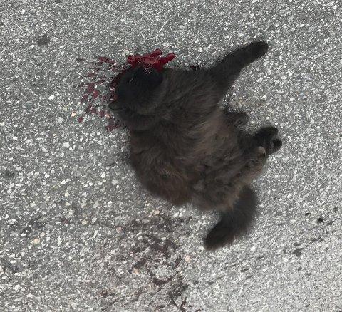 MEID NED: Katten Tussi ble kjørt på og liggende igjen med store smerter. – Folk som kjører på dyr og stikker bør fratas sertifikatet.
