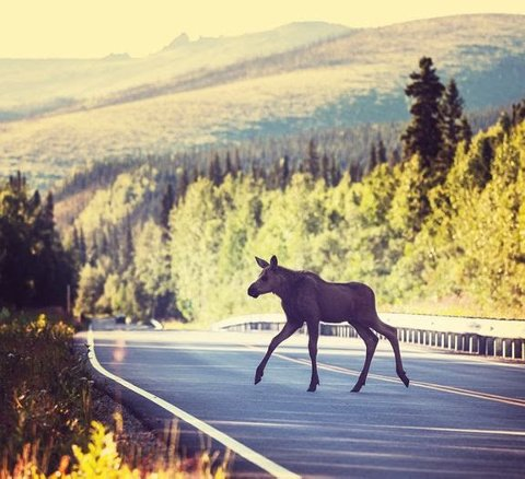 MANGE VILTPÅKJØRSLER: Det har blitt registrert 53 viltpåkjørsler i Rakkestad så langt i år. Pressefoto: NAF