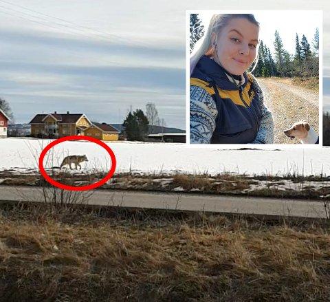 – ENDELIG: Det var det Henriette tenkte da hun endelig fikk se ulven i nærområdet. FOTO: PRIVAT
