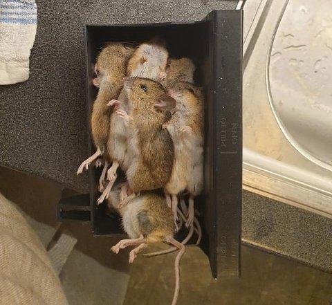 Anita Dalene ble bevisst på at 2020 er å regne som et museår på Østlandet da hun sjekket musefellas fangst etter høstens første operative dag.