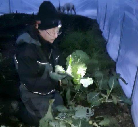 SJELDEN VARE: Mette Roland høster her grønnsaker 29. november i Dønnesfjord på Sørøya. På grunn av mørketid og strømmangel høstet hun med hodelykt. Selv om råvarene ble tatt opp av jorda seint, så smakte de fortreffelig, opplyser bøndene.