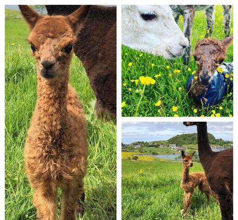 Snek i køen: Bruno snek i køen og ble den første alpakkababyen på gården dette året. Dagen etter ble alpakkababy nummer to, også kalt cria, født. Denne er opp til høyre på bildet.