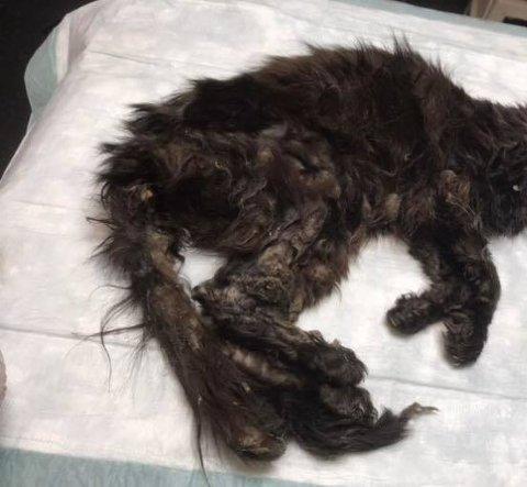 GRUSOMT SYN: Den utmagrede og alvorlig syke katten fikk bedøvelse straks den kom til Fredrikstad Dyrehospital.