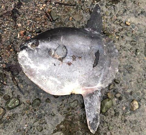 MÅNEFISK: Denne døde månefisken ble funnet i Hvervenbukta sist søndag.
