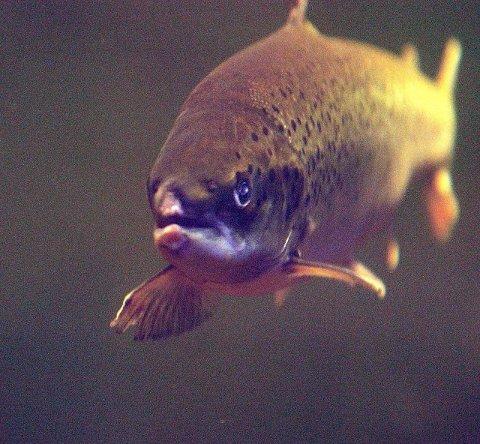 VILLAKS: I år ble det fisket ti prosent mer laks i sjøen enn i fjor. Ill.foto