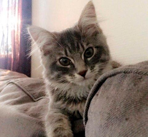 Kattungen Misty er hovedpersonen i en påstått kattekidnappingshistorie.