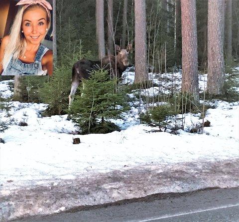 TETT PÅ ELGEN: Ingveig Andersen har fått ei elgku tett på seg i boligfeltet på Efteløtmoen den siste tiden. Nå ber hun bilister om å være oppmerksom på elgkua som ikke ser ut til å være redd verken folk eller biler.