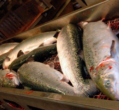 LAKS: Oppdretterne får godt betalt for laksen. Foto: Kai Nikolaisen