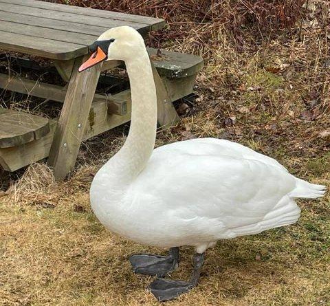 PÅ BESØK: Svanen slo seg ned i hagen til en familie i Lørenskog lørdag. Etter hvert måtte viltnemnda komme for å hjelpe svanen ut igjen på vannet.