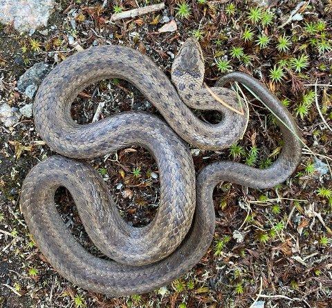 SJELDEN: På sjøsiden av Mosseskogen i Moss har man registret en av de største bestandene av Norges mest sjeldne slangetype, slettsnoken.
