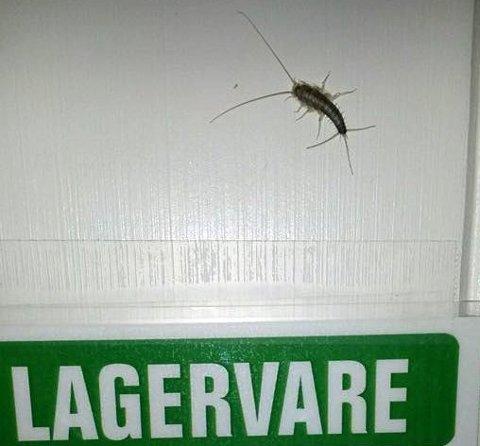 SKJEGGKRE: Slik ser insektet som er funnet på Skistua barneskole ut. Dette bildet er tatt i Tromsø på en av byens byggevarebutikker i november i fjor. Foto: Privat